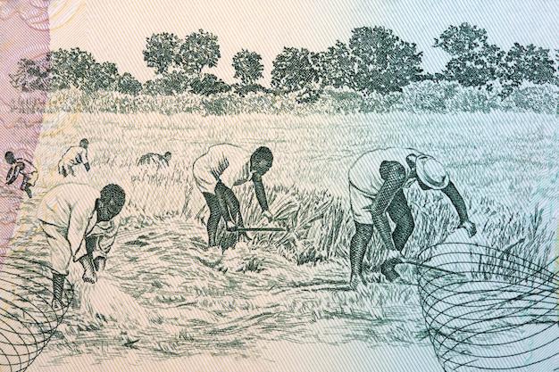 Ernte auf dem feld aus ghanaischem geld