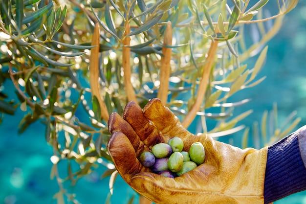 Ernte der olivenernte am mittelmeer