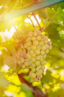 Ernte von grünen und blauen trauben. felder weinberge reifen trauben für wein
