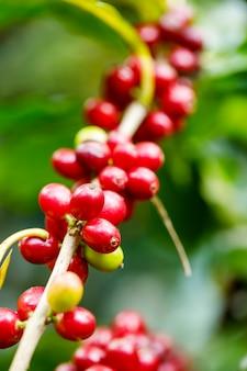 Ernte von kaffeekirschen durch landwirtschaft. kaffeebohnen, die auf dem baum im norden von thailand reifen