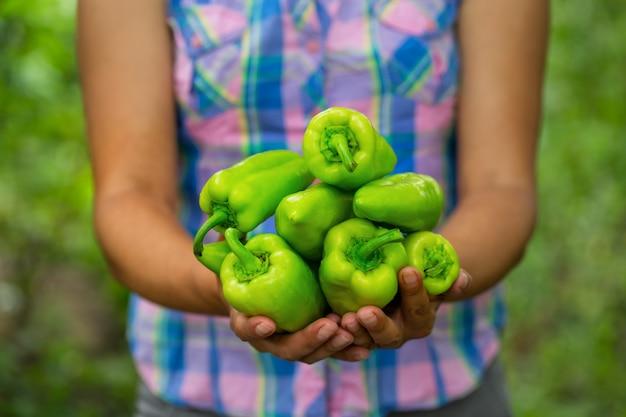 Ernte von paprika in den händen der bäuerin