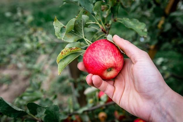 Ernte von roten äpfeln in schwarzer plastikbox.