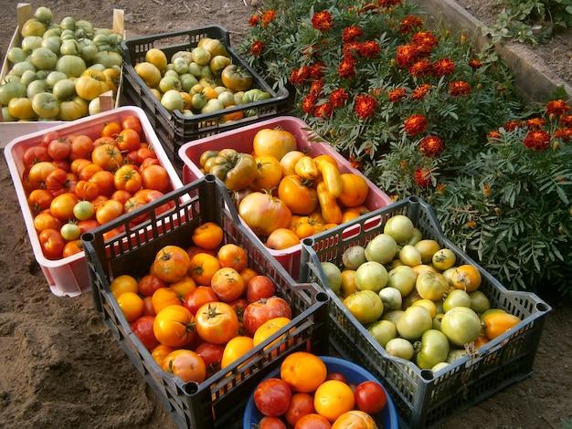 Ernte von roten, orangefarbenen und grünen tomaten in kisten. das konzept der tomatenernte zu hause.