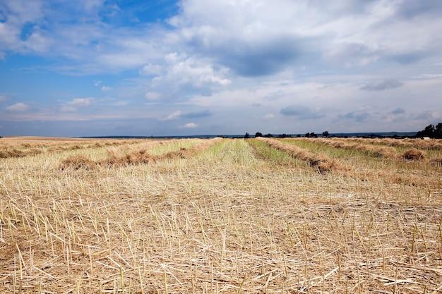 Ernte von vergewaltigung auf einem landwirtschaftlichen feld