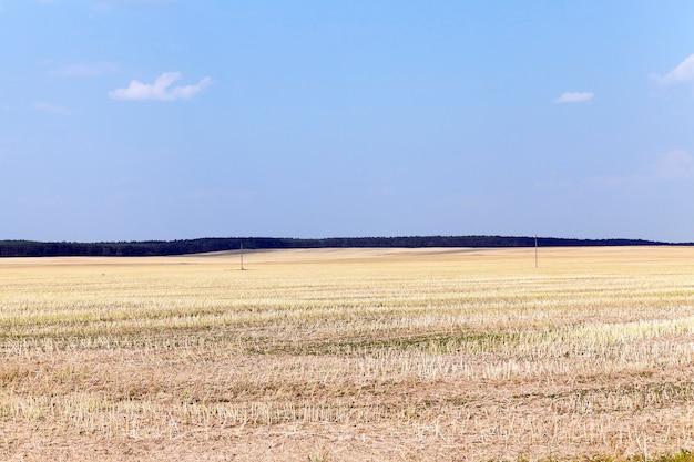 Ernte von weizen, getreide - landwirtschaftliches feld, auf dem die weizenernte, sommer,