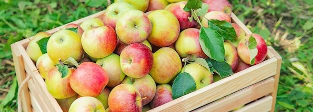 Ernten sie äpfel in einer kiste auf einem baum im garten. selektiver fokus.