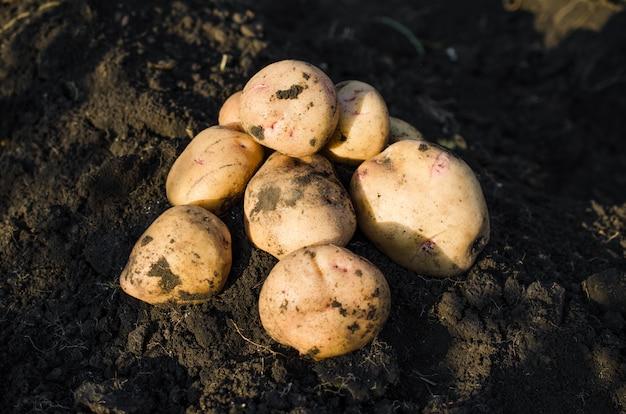 Ernten sie ökologische kartoffeln, die frisch von der erde genommen wurden.