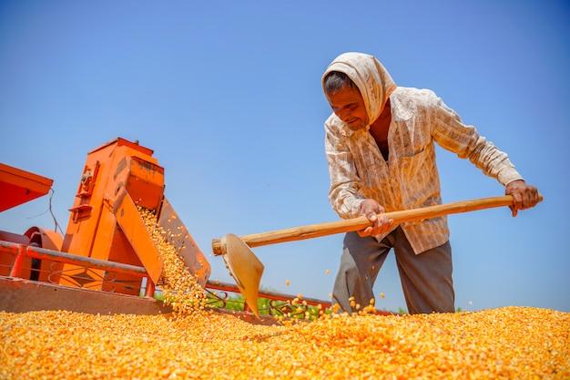 Ernten von mais auf dem feld, indischer landwirt / arbeiter, der den mais im sattelzug nach der ernte filtert