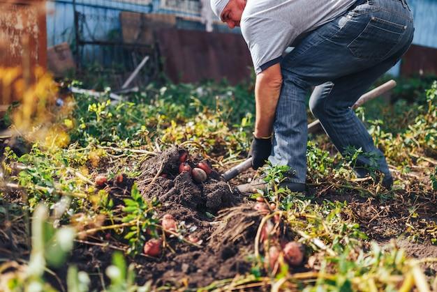 Erntezeit . landwirt, der frische organische kartoffeln vom boden erntet