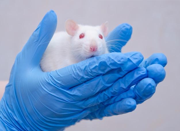 Erschrockene weiße laborratte in den händen eines forschers in einem labor