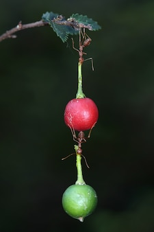 Erstaunliche ameisen tragen früchte, die schwerer sind als ihre körper