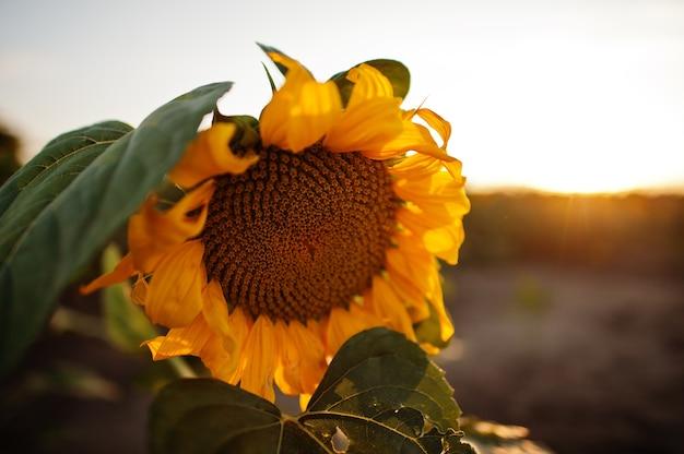 Erstaunliche ansicht der sonnenblume am feld im sonnenuntergang.