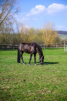 Erstaunliche ansicht eines schönen schwarzen pferdes, das ein gras isst
