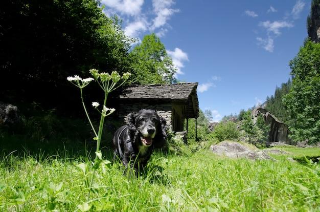 Erstaunliche ansicht eines schwarzen welpen, der in der mitte des feldes mit bäumen umgeben läuft