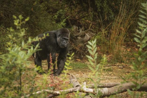 Erstaunliche aufnahme eines riesigen gorillas, der sich im unkraut versteckt