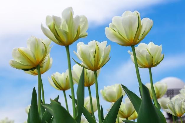 Erstaunliche aussicht auf die bunte tulpe, die am sommer- oder frühlingstag im garten blüht.