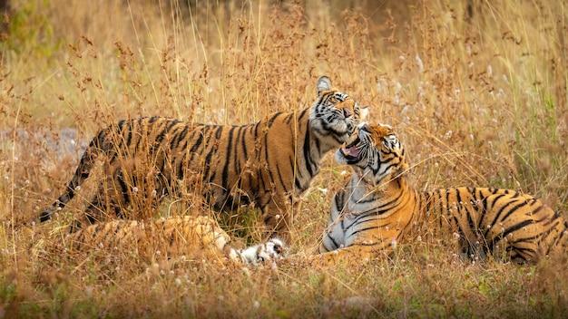 Erstaunliche bengalische tiger in der natur