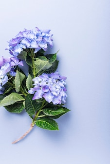 Erstaunliche blaue hortensienblumen