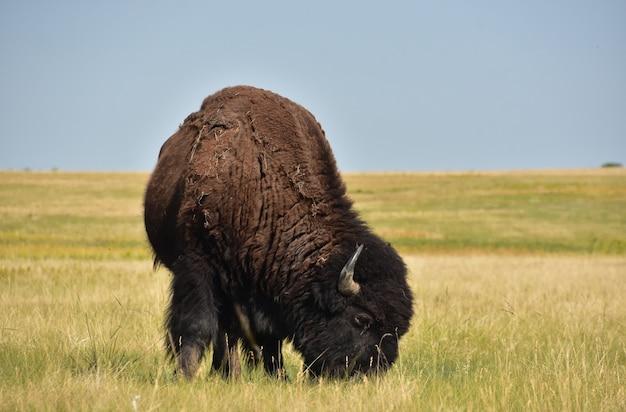 Erstaunliche büffel, die auf präriegräsern in south dakota-landschaft weiden lassen.