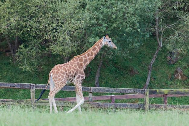 Erstaunliche große giraffe