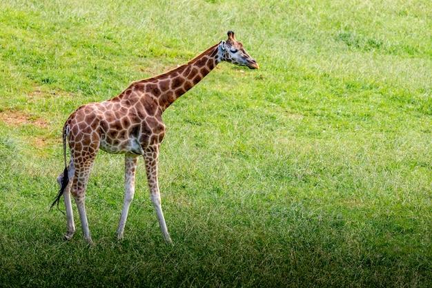 Erstaunliche große giraffen