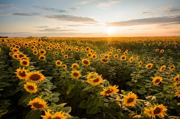 Erstaunliche landschaft des großen feldes der sonnenblumen am abend gegen untergehende sonne