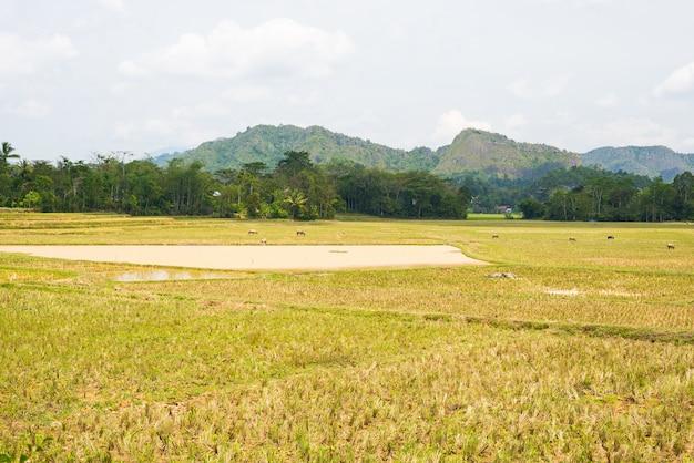 Erstaunliche landschaft von wassergefüllten reisfeldern und von szenischem cloudscape in tana toraja, süd-sulawesi, indonesien.