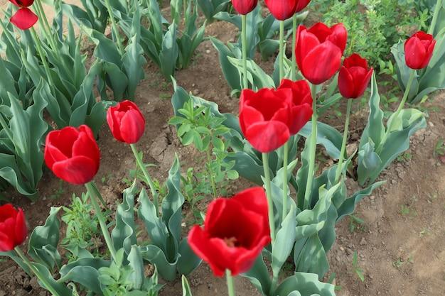 Erstaunliche mehrfarbige tulpenfelder in italien