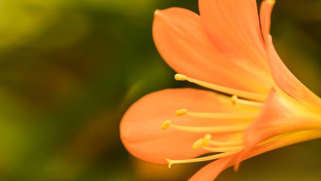 Erstaunliche orange frische blüte mit langen stempeln