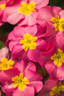 Erstaunliche rosa frische wilde blüte mit gelber mitte