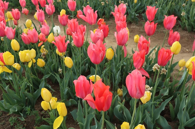 Erstaunliche tulpenfelder in italien