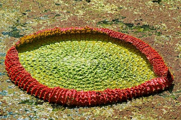 Erstaunliche unreife seerosenblätter von victoria amazonica im teich