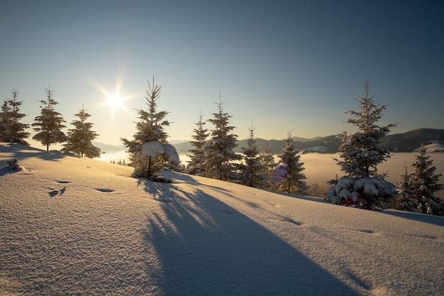 Erstaunliche winterlandschaft mit kiefern aus schneebedecktem wald in kalten bergen bei sonnenaufgang.