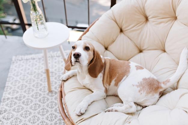 Erstaunlicher beagle-hund, der nach aktiven spielen auf balkon im sommertag ruht