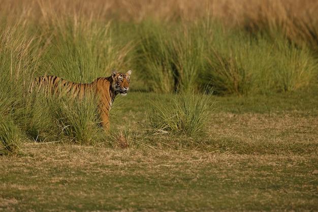 Erstaunlicher bengalischer tiger in der natur