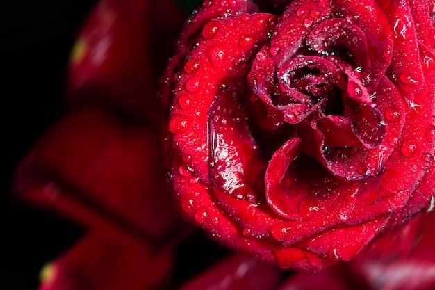 Erstaunlicher makroschuß der dunkelroten rose mit wasser fällt gegen schwarzes.