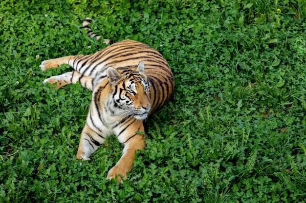 Erstaunlicher tiger