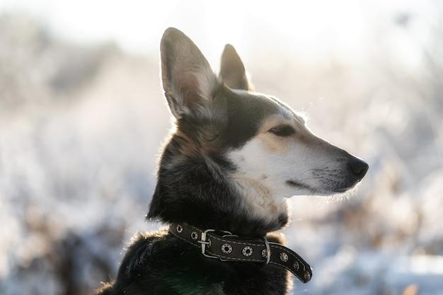 Erstaunliches porträt des jungen schwarz-weiß-border-collie-hundes im schnee.