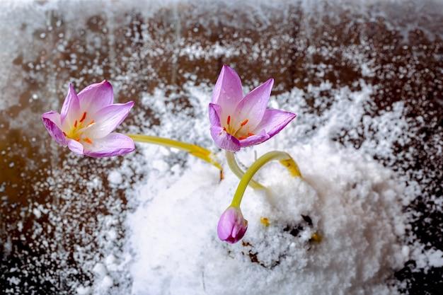 Erste frühlingsblumen in der schneeflora