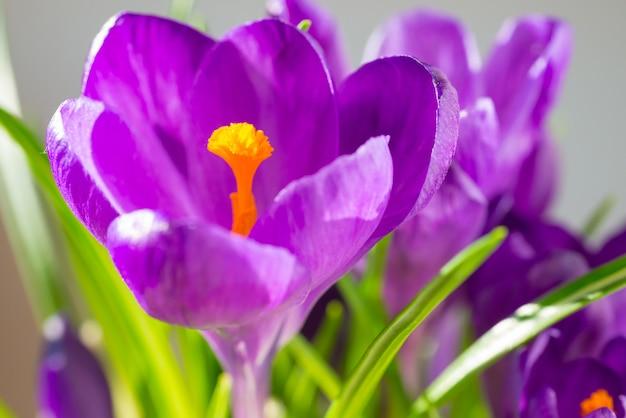 Erste frühlingsblumen - strauß lila krokusse über weichzeichnerhintergrund mit copyspace