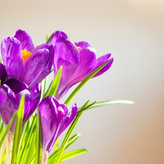 Erster frühlingsblumenstrauß von purpurroten krokussen Premium Fotos