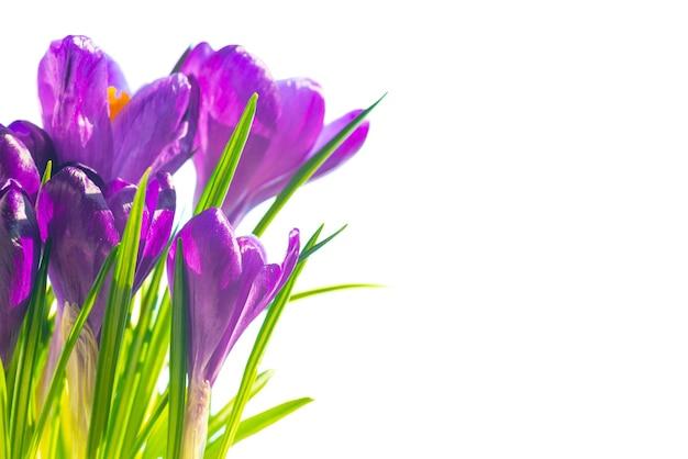 Erster frühlingsblumenstrauß von purpurroten krokussen