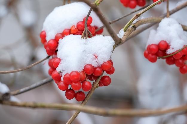 Erster schnee auf leuchtend roten viburnum-beeren in einem stadtpark in der nähe von makro-nahaufnahme von wohngebäuden