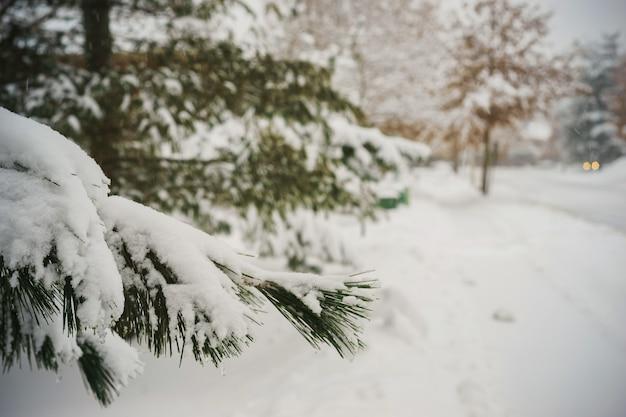 Erster schnee tannenzapfen baum natur winter