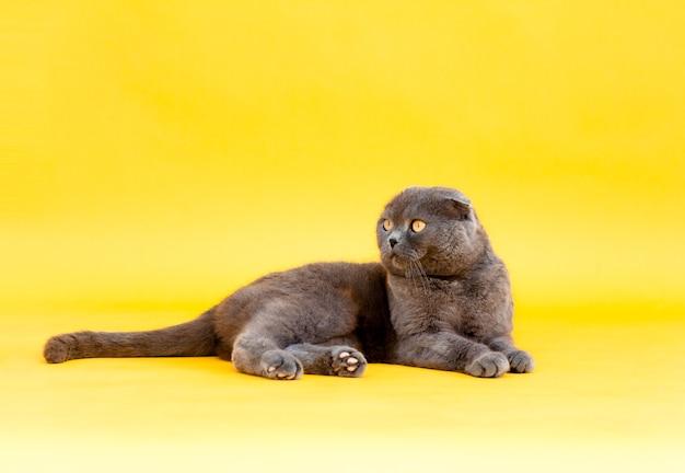 Erwachsene falten graue katze scottish fold liegt auf einem gelben hintergrund. studiofoto