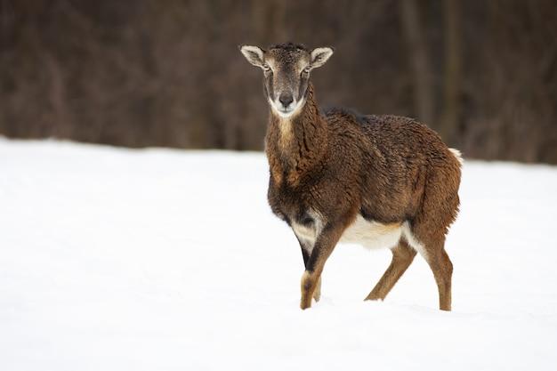 Erwachsene frau des mufflons, die auf der schneebedeckten wiese mit gekreuzten beinen steht