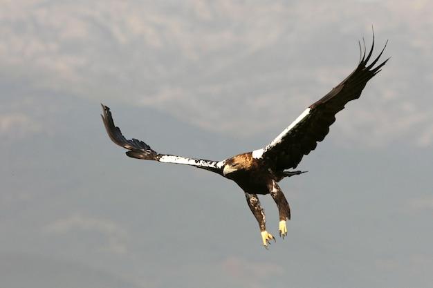 Erwachsene frau des spanischen kaiseradlers, die in einem mittelmeerwald an einem windigen tag am frühen morgen fliegt