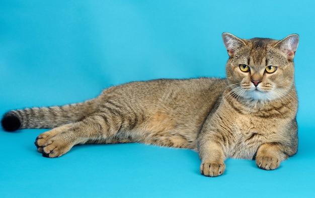 Erwachsene graue schottische gerade chinchilla-katze liegt auf blauem hintergrund, das tier ruht und schaut in die kamera