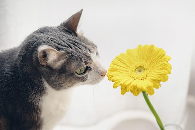 Erwachsene katze, die gelbe gerbera auf hellem hintergrund riecht