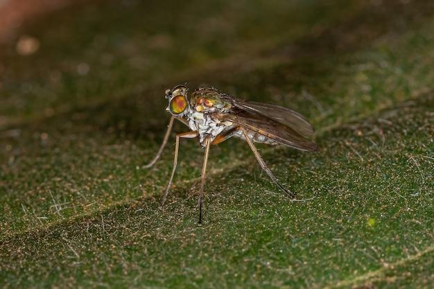 Erwachsene langbeinige fliege der familie dolichopodidae